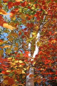 Maine Autumn leaves, Fall Foliage