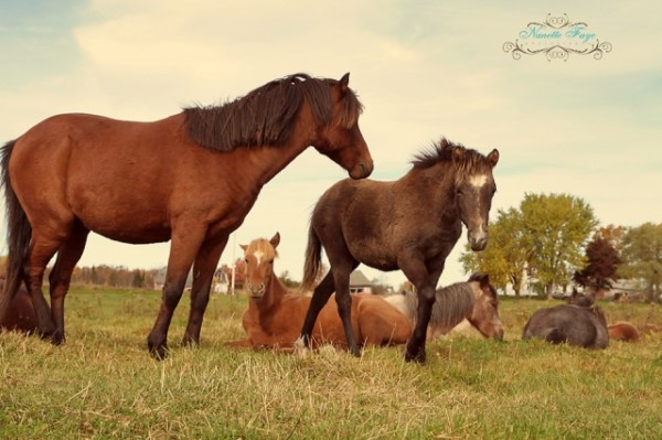 Caspian horses in Maine, photography