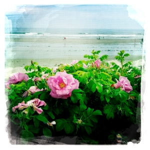 Maine beach roses, valentine's day, iPhoneography