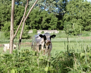 Vermont cow, photography, Nanette Faye Photography
