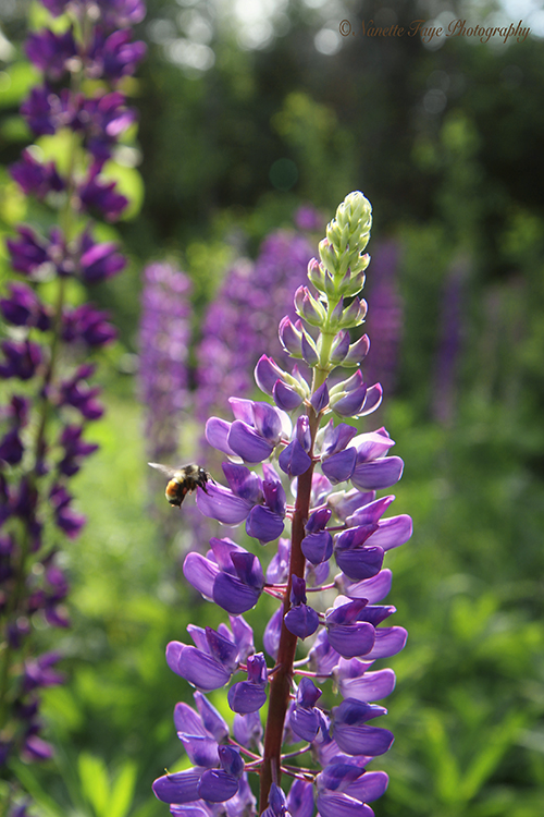 Maine lupine, photography, Lupine Lady, Barbara Cooney, Miss Rumphius, children's literature
