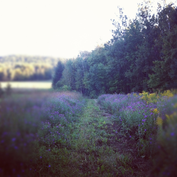 flowers, field of flowers, purple flowers, Maine farm, Northern Maine farm, iphone, iPhoneography, Nanette Faye Photography