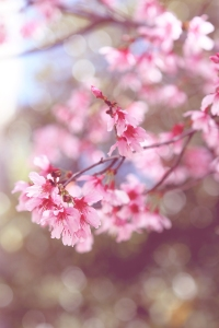 blossoms for timeline